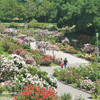 Thumbnail of the Morcom Rose Garden