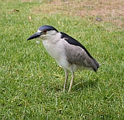 Photo of Black Crested Night Heron