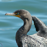 Photo of a Cormorant