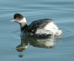 Photo of a Fristrome Eared Grebe