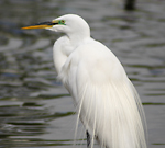 Photo of a Great Egret