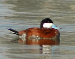 Photo of a ruddy duck