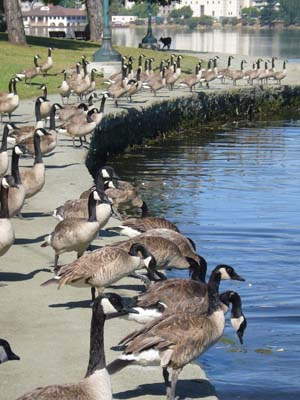 Photo of Canadian Geese at Lake Merritt